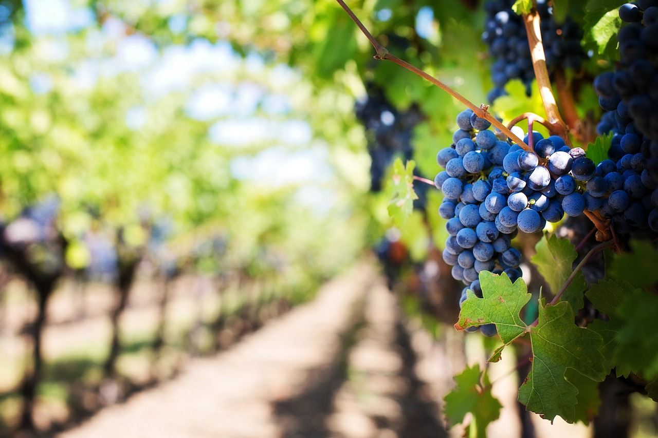 Druivenrassen die je alleen in Italië tegenkomt