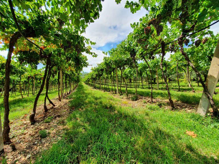 Wijngaard Soave